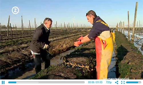 Eerste oogst van nieuwe anti-oesterboorder tafeloesters