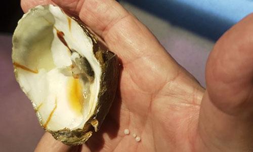 Bijzondere ontdekking: Vier parels in oester