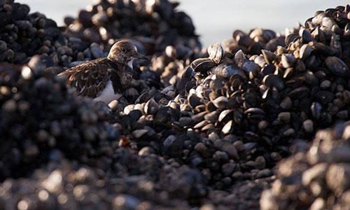 Japanse oester helpt mossel overleven, maar houdt hem wel klein